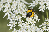 Wild bee: Solitary bee with pollen bags filled on flowers, Lorraine, France