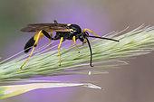 Parasitic hymenoptera (Ichneumonidae sp) on ear, Lorraine, France