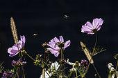 Halicte (Halictus sp) en vol au dessus de fleurs de jardin, Parc de Sainte Croix, Rhodes, Lorraine, France