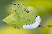 False caterpillar: Larva of White Sawfly (Apethymus sp) parasite of Clematis, Lorraine, France
