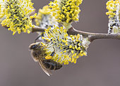 Honey bee (Apis mellifera) on male Willow catkin (Salix sp), Lorraine, France