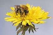 Brown Bumblebee (Bombus pascuorum) on Dandelion flower (Taraxacum sp), Lorraine, France