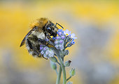 Brown Bumblebee (Bombus pascuorum) on forget-me-not flower, Lorraine, France