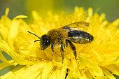 Painted Mining Bee (Andrena fucata) on Dandelion flower, Lorraine, France