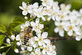 Honey bee (Apis mellifera) on St Lucie Cherry blossoms (Prunus mahaleb), Lorraine, France
