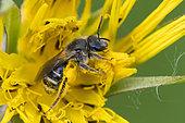 Solitary bee (Andrena sp) on Salsify flower (Tragopogon sp), Lorraine, France