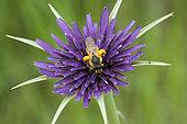 Mining bee (Halictus sp) covered with pollen on Salsify flower (Tragopogon sp), botanical garden Jean-Marie Pelt, Nancy, Lorraine, France