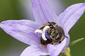 Solitary bee (Andrena sp) sleeping in a campanula flower, France