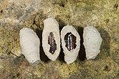 Mud Dauber Wasp (Sceliphron sp) chrysalis in their earthen pot, Vosges, Franc