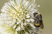 Buff-tailed bumblebee (Bombus terrestris) covered with pollen on cut-leaved teasel flowers (Dipsacus laciniatus), Jardin des plantes, Paris, France