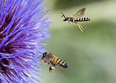 Great banded furrow-bee (Halictus scabiosae) and Honey bee (Apis mellifera) in flight, pollinators on Artichoke (Cynara scolymus), Jardin des Plantes, France