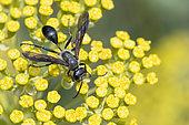 Grass-carrying Wasp (Isodontia mexicana) on Shrubby Hare's Ear (Bupleurum fruticosum) flowers, Jardin des Plantes, Paris, France