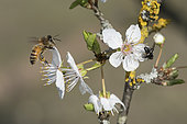 Honey bee (Apis mellifera) pollinator on flowering Prunus, Lorraine, France