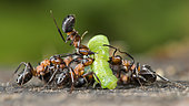 European Red Wood Ant (Formica polyctena) hunting a green caterpillar, Lorraine, France