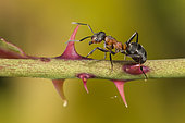 European Red Wood Ant (Formica polyctena) worker on a stem, Lorraine, France