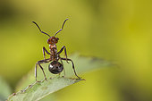 European Red Wood Ant (Formica polyctena) worker on a leaf, defense posture, Lorraine, France