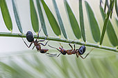 European Red Wood Ant (Formica polyctena) on a stem, Lorraine, France