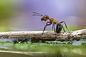 European Red Wood Ant (Formica polyctena) drinking, head in a drop of water, Lorraine, France
