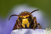European hornet (Vespa crabro) on an Iris, Lorraine, France