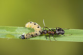 European Red Wood Ant (Formica polyctena) catching and carrying an Ermine caterpillar (Yponomeuta sp), Lorraine, France