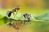 European Red Wood Ant (Formica polyctena) drinking and their reflection, Lorraine, France