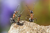 European Red Wood Ant (Formica polyctena) group in defensive position, Lorraine, France
