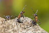 European Red Wood Ant (Formica polyctena) pair in defensive position, Lorraine, France