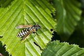 European paper wasp (Polistes dominula) cleaning his back on a leaf, Lorraine, France