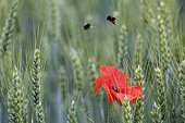 Red-tailed Bumblebee (Bombus lapidarius) in flight over a Poppy (Papaver rhoeas) in flower, Lorraine, France