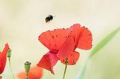 Bourdon lapidaire (Bombus (Melanobombus) lapidarius) butineur en vol au dessus d'un Coquelicot (Papaver rhoeas) en fleur, Lorraine, France