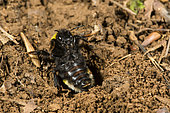 Buff-tailed Bumblebee (Bombus terrestris) in a defensive position in front of its burrow, Lorraine, France