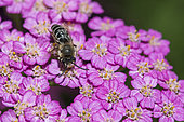 Mining bee (Halictus sp) on Achillea flower (Achillea sp), Jean-Marie Pelt Botanical Garden, Nancy, France