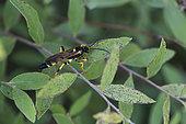 Ichneumon noire et jaune (Ichneumonidae sp) sur une feuille, espèce parasitoïde, Lorraine, France