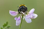 Bourdon terrestre (Bombus terrestris) sur une fleur de Coronille bigarrée (Coronilla varia), Lorraine, France
