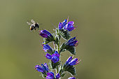 Brown Bumblebee (Bombus pascuorum) on Vipersbugloss (Echium sp) flower, Lorraine, France