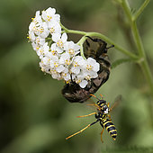 Paper Wasp (Polistes bischoffi) attacking a Hairy beetle on a Milfoil (Achillea millefolium) flower, Lorraine, France