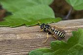 Paper Wasp (Polistes bischoffi) on wood in the garden, Lorraine, France