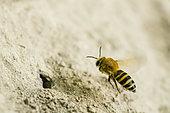 Collètes du lierre ou Abeille du lierre (Colletes hedera) en vol, espèce d'abeille solitaire faisant des terriers en bourgades, active fin septembre, Lorraine, France