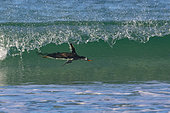 Gentoo penguin (Pygoscelis papua) surfing the waves when coming ashore, Saunders, Falkland