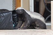 Honey Badger (Mellivora capensis), adult looking for food in a garbage bin, Mpumalanga, South Africa