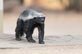 Honey Badger (Mellivora capensis), adult walking, Mpumalanga, South Africa