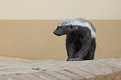 Honey Badger (Mellivora capensis), front view of an adult standing on the ground Mpumalanga, South Africa