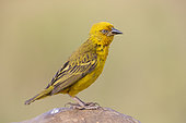Cape Weavers (Ploceus capensis), side view of an adult male perched on a rock, Western Cape, South Africa