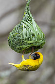 Southern Masked Weaver (Ploceus velatus), adult male building its nest, Mpumalanga, South Africa