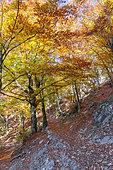 European Beeches (Fagus sylvatica), trees in autumn, Campania, Italy