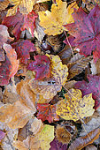 Autumn leaves, close up of autumn leaves on the ground, Campania, italy