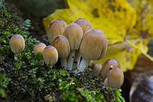 Coprinellus micaceus, mushrooms grown in the moss, Campania, Italy