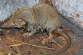Asian house shrew (Suncus murinus), Reunion Island