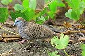 Peaceful dove (Geopelia striata) on ground, Reunion Island