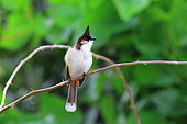 Red-whiskered Bulbul (Pycnonotus jocosus) on a branch, Reunion Island